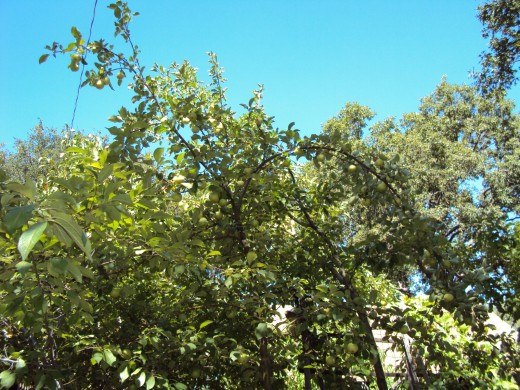 A beautiful swath of blue sky is a lovely contrast to the light green color of the leaves of the apple tree.