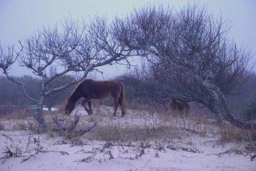 Two of the wild horses in the brush.