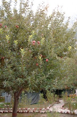 Photograph of an apple tree in Harsil.