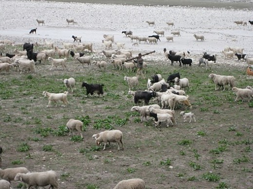 Found some sheep near the banks of Bhagirathi river on trip to Harsil.