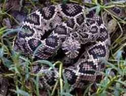 The Dangerous Mojave Desert Rattlesnake