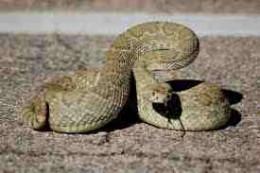 Mojave Rattler