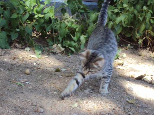 Stripey playing in the dirt near the vinca.