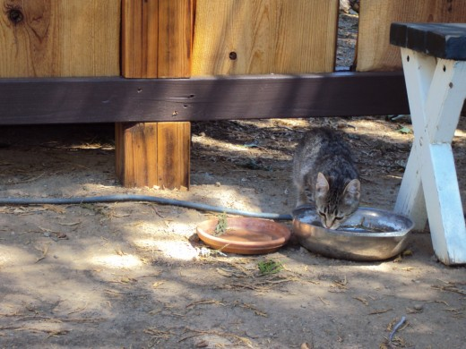 Stripey is drinking water from a bowl in the garden.