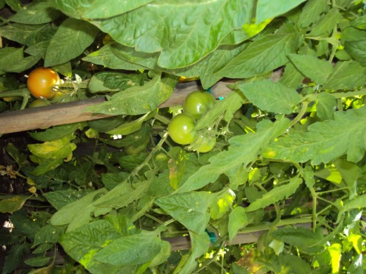 Another picture of lovely green tomatoes.