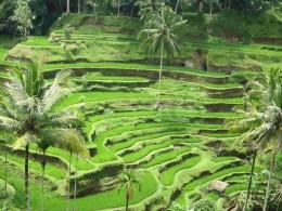 Terrace rice farming in Ubud, Bali