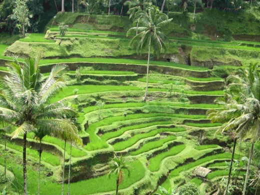 Terrace rice farming in Ubud, Bali
