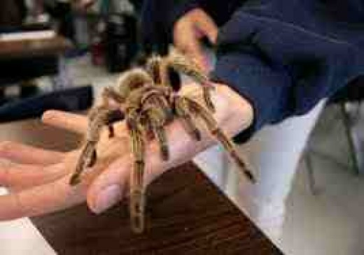 Love a Tarantula: Make a friend