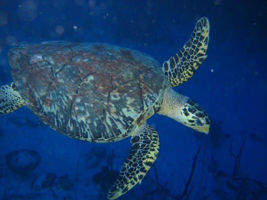 You can see Turtles amongst other beautiful marine life when diving in Mexico