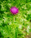 Canary Islands herbs: Milk Thistle is a remedy for liver problems