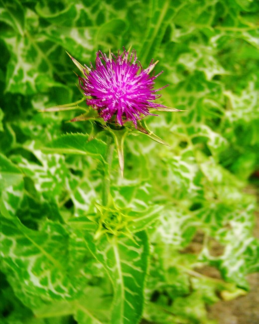 Milk Thistle in flower. Photo by Steve Andrews