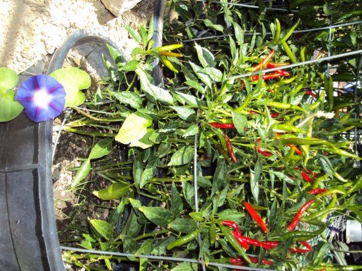 More pictures of the red and skinny cayenne peppers, which are truly amazing in their vibrancy and hue.