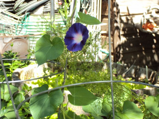 The solitary morning glory.