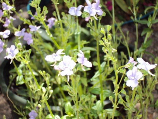 Another closeup of the light purple flowers.