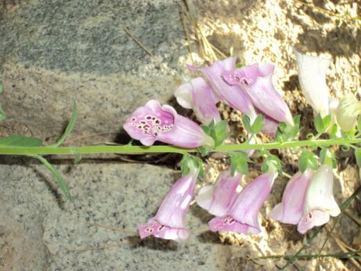 Purple bell shaped flowers.