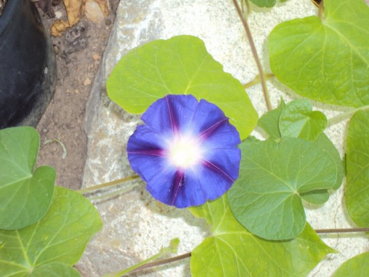 A picture of the morning glory from a bit more distance.