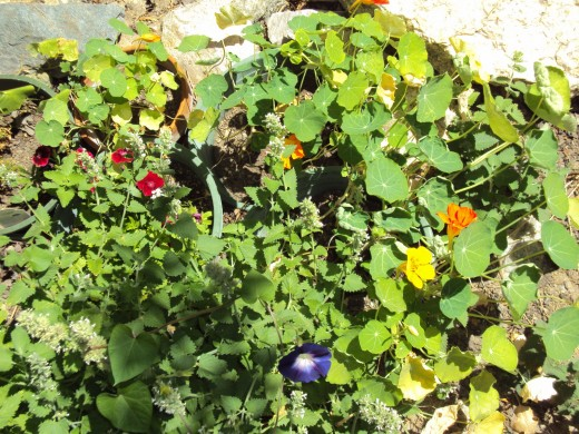 Nasturtiums and morning glories in the garden.