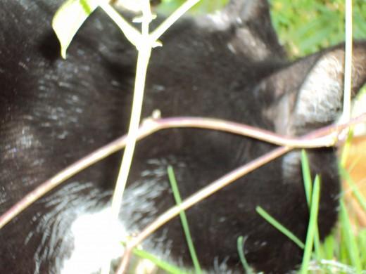 A closeup of part of Anastasia's beautiful black fur.