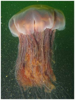 Lions Mane Jelly Fish