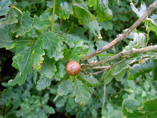 Marble gall on oak.