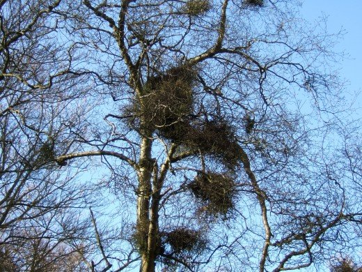 The witches broom can appear as though there are large birds nests in the tree.