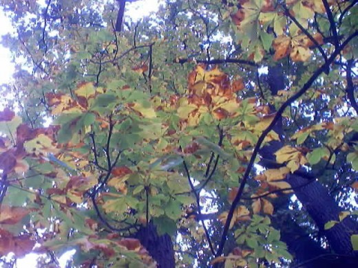 The damage done by the leaf miners can be mistaken for autumn colour on horse chestnut.