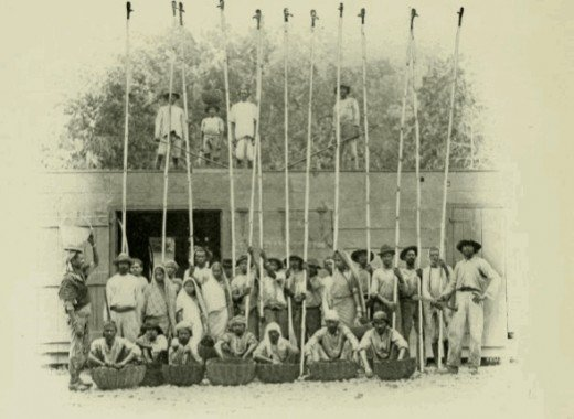 A Group of cocoa pickers at the beginning of the last century. They are using knives tied to the end of long poles to harvest the cocoa beans that are used to make chocolate.