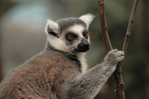A Lemur from Madagascar