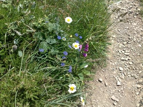Beautiful wild flowers along the coastal path