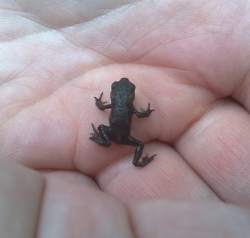 One of the tiny toads