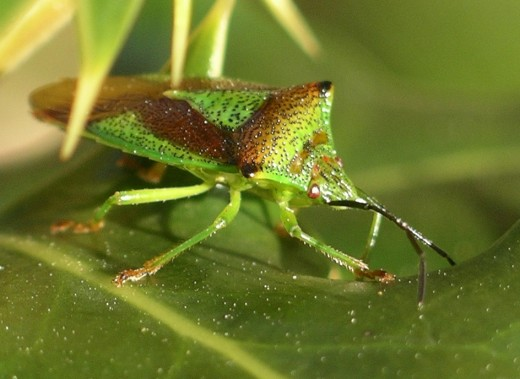 This close up of the hawthorn shield bug shows the colouring which makes it well camouflaged.