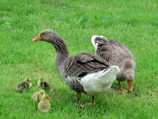 Geese and goslings. They lay eggs that are lovely to eat and great for painting.