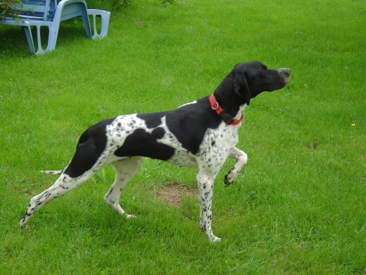 We have a dog. She is a pointer and a hunting dog. In Limousin they hunt deer and wild boar because there are no natural predators since they killed the wolves.