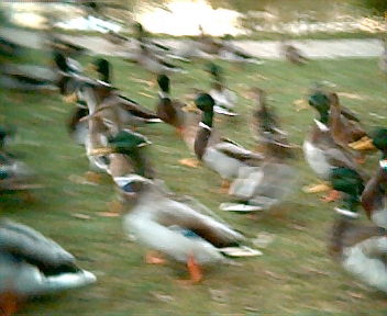 Low light picture of ducks.