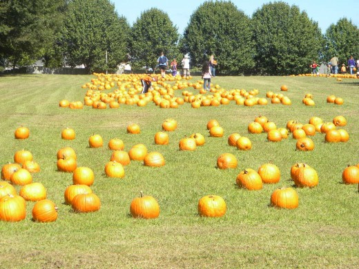 Hundreds of pumpkins beautifully displayed