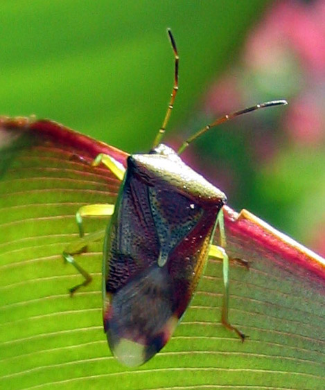 This birch shield bug is an impressively coloured insect.