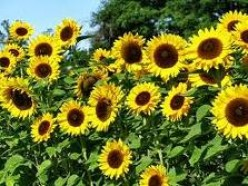 The Sun Flower is the flower emblem of the North West Province.