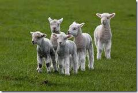 Isa 40:11 KJVR  He shall feed his flock like a shepherd: he shall gather the lambs with his arm, and carry them in his bosom, and shall gently lead those that are with young.
