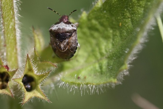 The woundwort shield bug. The nutlets can be seen in the seed capsule in the bottom left corner.