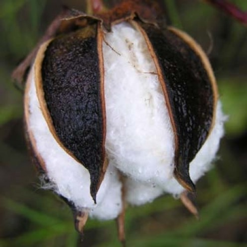 Just prior to being ripe enough to pick.  Cotton must be picked within three days of opening or it becomes unsuitable for ginning.