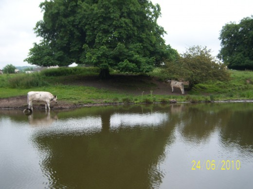 The cows drink at the edge of the Macclesfield Canal - known to those that frequent the canal on barges as 'The Mackie'