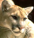 Mountain Lion in Texas