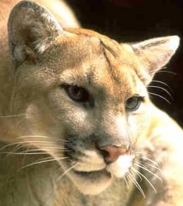Mountain lion, cougar, puma
