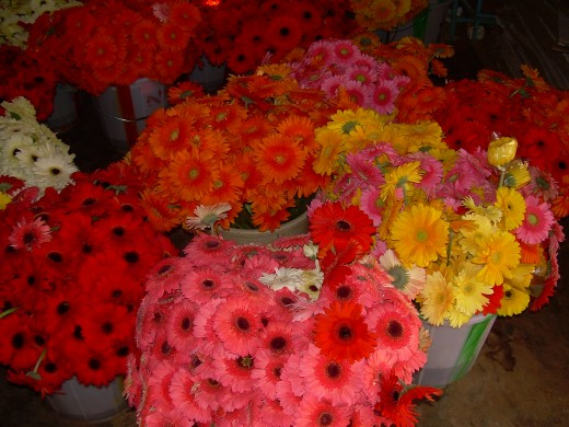 Gerbera daisy pictures