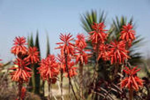 Aloe flowers blooming in Portugal
