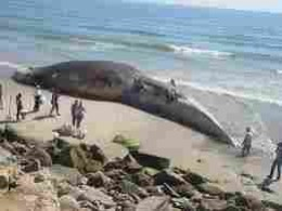 Huge Blue Whale carcass viewed by midgets