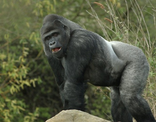 Silverback Gorilla.  Not to be confused with...