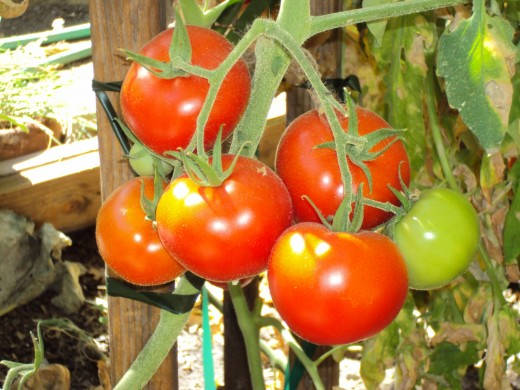 A nice cluster of lovely tomatoes growing on the vine.