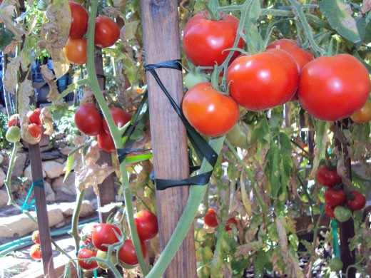 Clumps of luscious red tomatoes will taste lovely in pasta sauce and salsa.