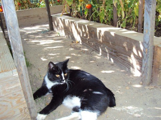 Like Annie pictured in a previous garden hub, Bobbie is a manx cat of the tuxedo variety.